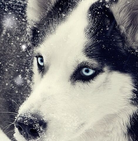White And Blue Wolf Black And White Blue Eyes
