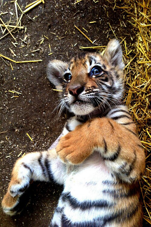 animal, animals, baby animals and baby tiger