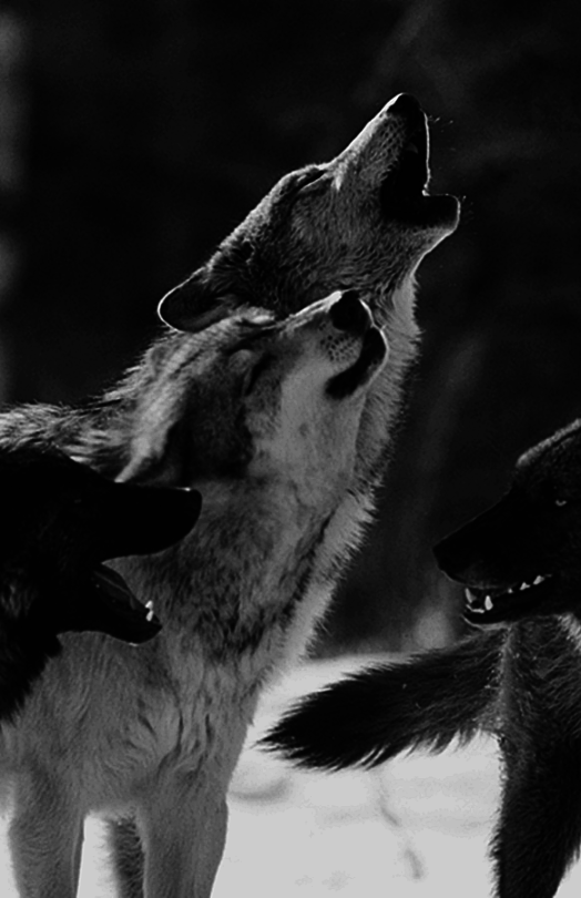 black and white, howl, howling wolf, photography, stuff, wolf, wolves ...