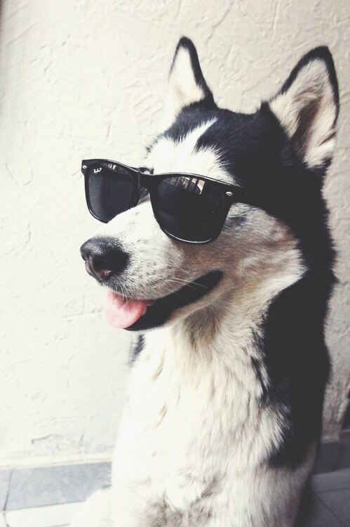 Cool dogs with sunglasses - photo#18