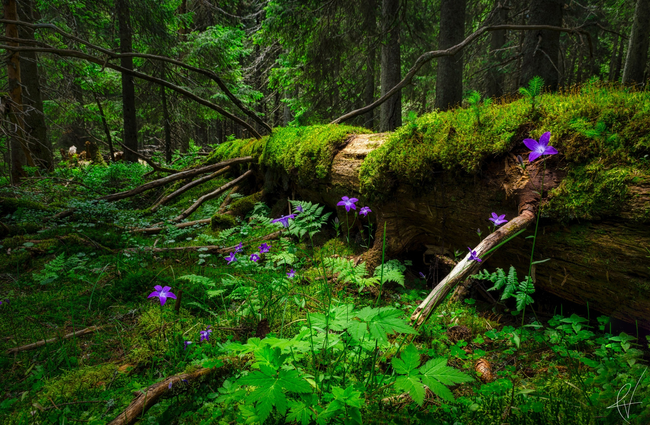 ferns, flowers, forest, leaves, moss, nature, trees, fallen down tree