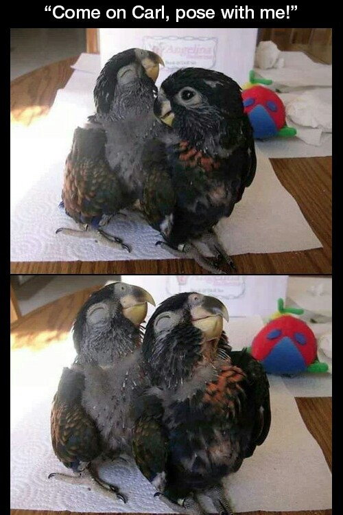 animal, bird, funny and parrot
