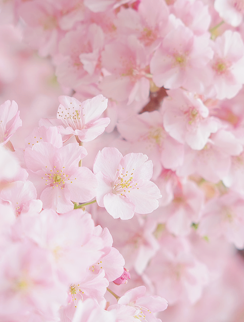 Tumblr Pink Flowers Photography Moons Flower Flower Tumblr
