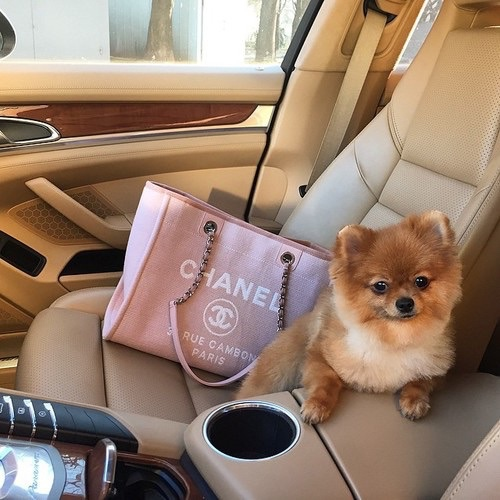 Groovy Coco Chanel Expensive Luxurious Pink Pomeranian Puppy Pdpeps Interior Chair Design Pdpepsorg