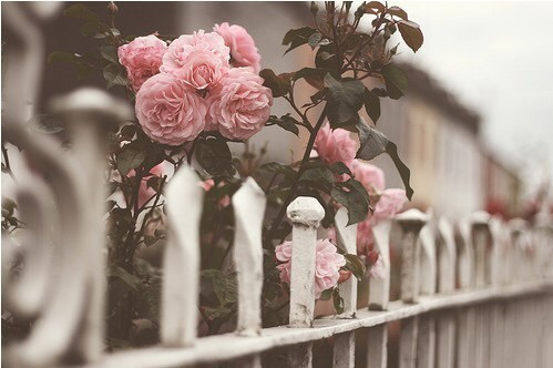 fence, flowers, hipster, indie, not hipster, not vintage, photograph, pink, roses, tumblr, village, vintage, white, not indie