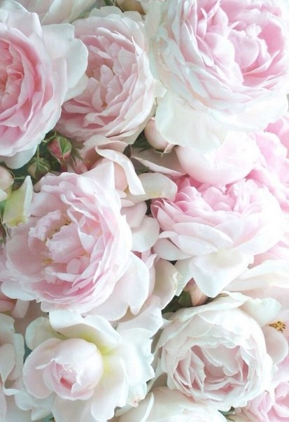 background, peony, floral, luxury, girly, love, inspiration, pretty, beautiful, plant, pink, design, beauty, gorgeous, peonies, cute, flowers, first set on favim, flower, ❤
