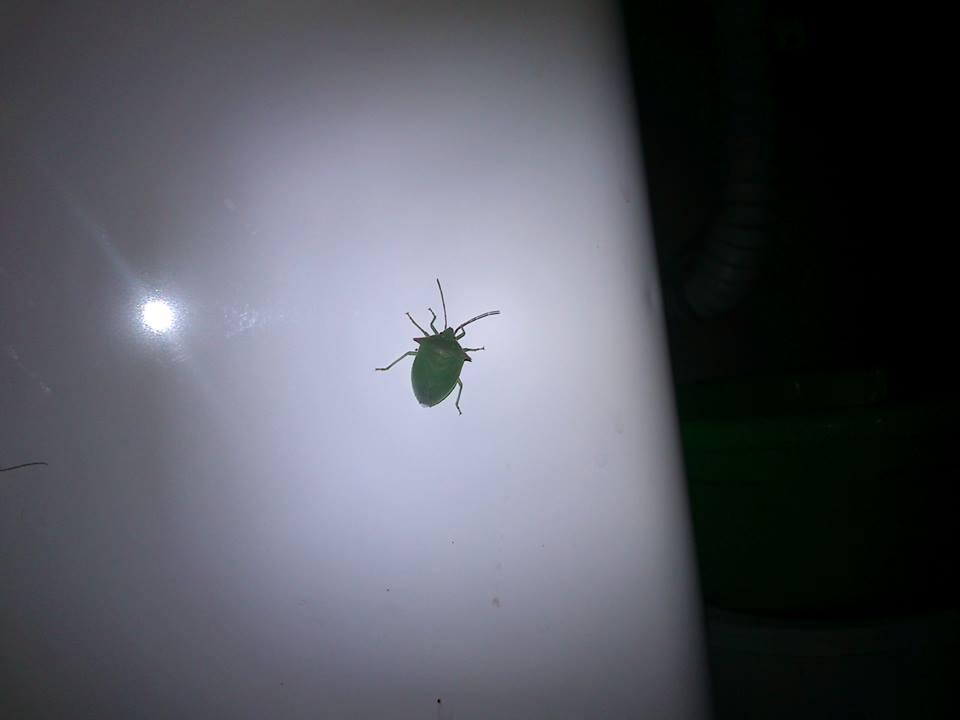 green, insect, insecto, natural, naturaleza, verde, First Set on Favim.com, Chinche, green bug