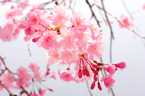 2013, amazing, beautiful, blossom, bouquet, cherry blossoms, cute, floral, flower, flowers, japanese, kawaii, leaves, march, nature, photograph, photography, pink, pretty, rose, roses, scenery, spring, trees