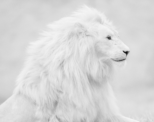 amazing, animal, beautiful and black and white
