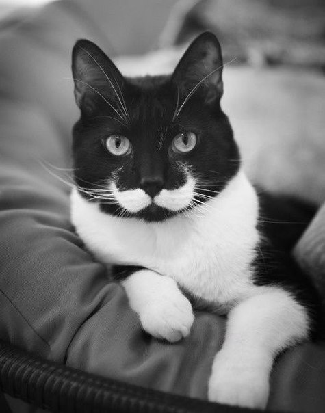 beautiful, big, black and white, cat, cute, livestock, miley cyrus, nature, selena gomez, sky, whiskered cat, whiskers, white