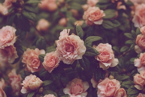 beautiful, cute, flowers, grunge, photography, pink, pretty, red, rose