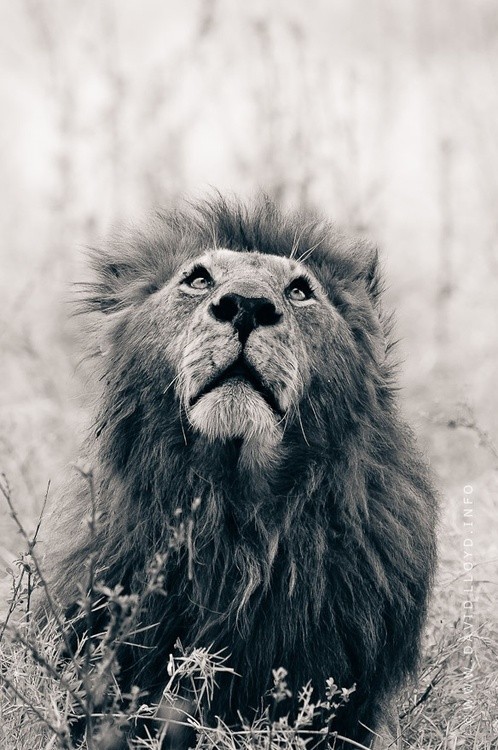 Lion hipster - photo#33
