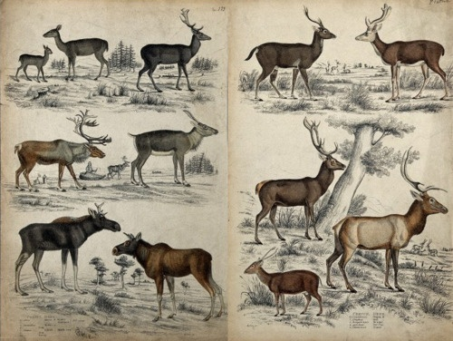 deer and drawing